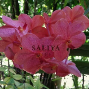 Saliya-therapeutic-Yoni-Massage-Orchid-SQ